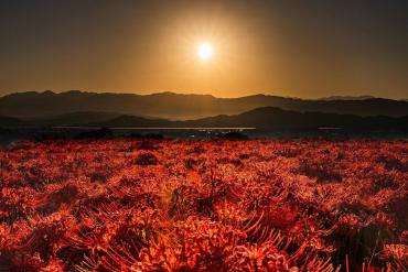 Hoa bỉ ngạn nở rực khắp Nhật Bản