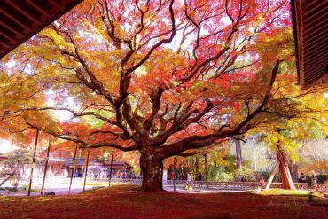 Cây phong 400 tuổi ở Nhật Bản